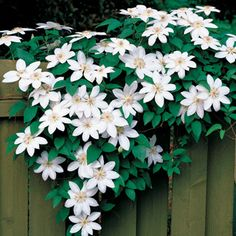 Climbing roses, clematis, and other vining plants add vertical color and save garden space in your landscape. Select from our complete assortment of vines and climbers here at Jackson & Perkins, and begin growing the garden vertically this season! White Clematis, Clematis Vine, Clematis Plants, Autumn Clematis, Clematis Flower, White Climbing Roses, Climbing Vines, Climbing Clematis, Clematis Varieties