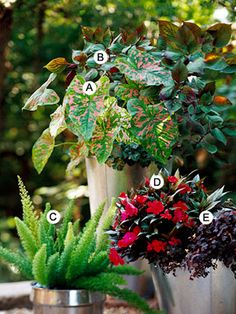 Good container plants for shade  A. Caladium 'Florida Elise' -- 2   B. Perilla 'Gage's Shadow' -- 1  C. Asparagus fern (Asparagus densiflorus 'Myersii') -- 1  D. New Guinea impatiens (Impatiens 'Sonic Cherry') -- 1  E. Oxalis vulcanicola 'Zinfandel' -- 1