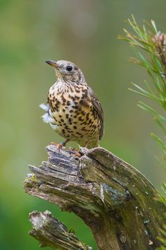 Mistle Thrush, Turdus viscivorus, found in open woods in Europe and Asia