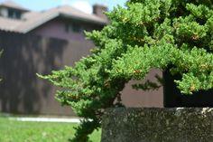 Dwarf Japanese Juniper, Juniperus procumbens 'Nana'
