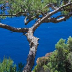 Pine trees are energetically grounding and also assist us in reaching for the sky. The interesting energetic quality that Maritime Pine essential oil possesses is that this oil can help us to remember how to go with the flow in life. Maritime Pine grows near the water's edge in coastal regions on the Mediterranean so this essential oil can assist us to stay balanced in the ebb and flow of life just as this pine tree does by the sea.  www.stillpointaromatics.com