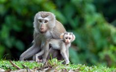 Macaco Sur (Macaca nemestrina)