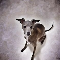 Tina / webstagram / Italian Greyhounds