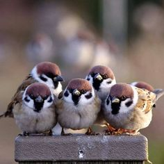Sparrows are weaver finch birds. There are several species of sparrow, some of which are associated with living nearby settlements of people, such as cities, suburbs, and farms. Cute Birds, Pretty Birds, Small Birds, Little Birds, Colorful Birds, Beautiful Birds, Animals Beautiful, Exotic Birds, Cute Baby Animals