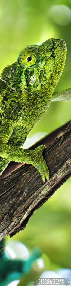A chameleon. Wouldn't you like to see two ways at once? Think of how much more one can see!