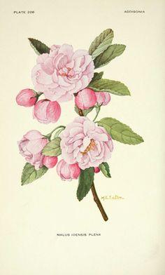 dessin fleur malus ioensis plena (pommier)  BOTANICAL ART  Addisonia : colored illustrations and popular descriptions of plants. 手繪花草植物圖鑑