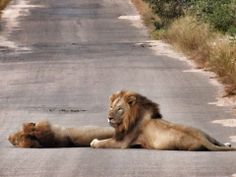 We came across the kings of the bush being lazy on the road. What a beautiful sighting! #krugerpark #lions #wildlife www.outlook.co.za