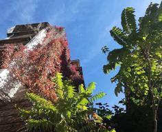 Hiedras que por #otoño se tornan bermejas VS hojas que se conservan verdes con el paso de las estaciones.  Todo esto y más en nuestro barrio de #Chamberí #Madrid