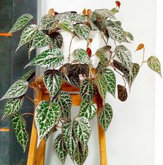 Houseplants That Filter the Air We Breathe Piper Ornatum