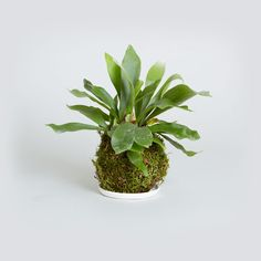 Handmade Kokedama moss ball with Staghorn Fern from The Sill // www.thesill.com