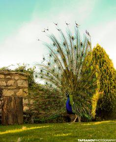 #peacock..... Royal blood