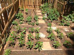 Maig 2015,planter de Pebrot,Tomateras de cor  de Bou.