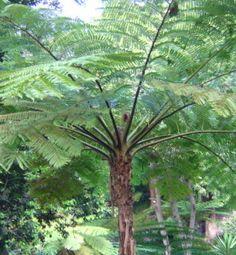 Cyathea cooperi - Australian Tree Fern / Tropical plants / Exotic plants / Rare plants