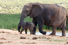 Wait Addo Elephant National Park is a diverse wildlife conservation park situated close to Port Elizabeth in South Africa and is one of the country's 19 national parks. Cool Picks, Port Elizabeth, Wildlife Conservation, South Africa, Road Trip, National Parks, Elephant, Country, Animals