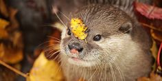 Hey otter, you have a leaf on your face - November 11, 2015