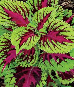 "Coleus - Vartiety Picture Perfect Rose. An annual that prefers full shade or partial. Height: 36"" Spread: 36-48"""