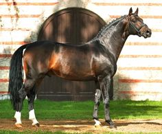 Oldenburg - stallion Diamond Star