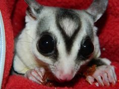 leu sugar glider pictures | This is Violet, our 66% leu het WF. She's also Pip's daughter.
