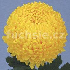 Spider – žlutý - Zahradnictví Petro Spider, Rose, Flowers, Plants, Spiders, Pink, Plant, Roses, Royal Icing Flowers
