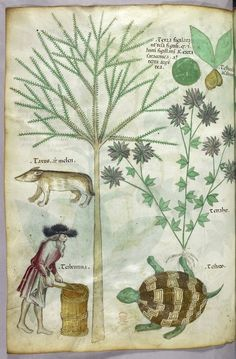 """Tractatus de Herbis (ca.1440) Selections from a beautifully illustrated 15th century version of the """"Tractatus de Herbis"""", a book produced to help apothecaries and physicians from different linguistic backgrounds identify plants they used in their daily medical practise. No narrative text is present in this version, simply pictures and the names of each plant written in various languages. miniatures of plants, a turtle, a man and another animal"""
