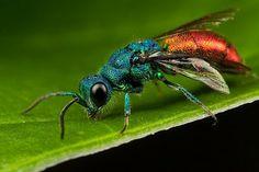O Livro da Natureza: Insetos Hymenoptera