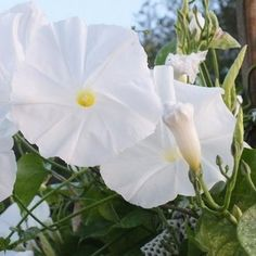 Morning Glory (Ipomoea Tricolor Pearly Gates) - The Pearly Gates Morning Glory features a profusion of stunning, large, pearl-white flowers. Pearly Gates Morning Glory vine... #underthesunseeds #annual #flower #garden #seed #seeds