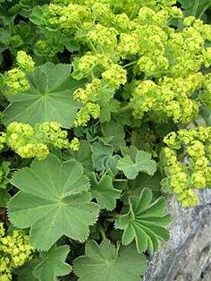 "Alchemilla mollis 'Select' ""Lady's Mantle"": for the shade garden , this is one tough-as-nails, clay-tolerant cookie, Lovely dense mounds of velvety apple green scalloped leaves that make just about the easiest, most reliable edger for shade. Water droplets bead up. About 1' tall in bloom and 1.5' across, I grow it in front of the shade-providing taller sun shrubs as well. If it ever looks tired, just shear it back hard and you'll have fresh new growth. Deer resistant."