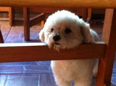 ~ resting!! descansando ~ poodle toy