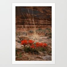 Indian Paintbrush Art Print by LindseyJenningsPhotography