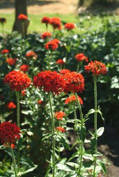 Maltese Cross The fiery flowers of Maltese cross (Lychnis chalcedonica) appear on 2- to 4-foot stems in early summer. Sow in sun or part shade in moist, well-drained soil, and cut back after flowering to encourage re-bloom. The flowers may also attract hummingbirds.