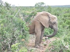 Elephant, Browsing, seen by Africa-Live App User  JT at 16-45 PM on 12. 05. 2013. Ellies right next to us in the bush Addo