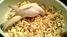 Popcorn the Cockatiel takes on Popcorn the bowl