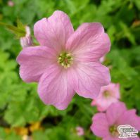 Buy Geranium x oxonianum Wargrave Pink (Cranesbill) online from Jacksons Nurseries