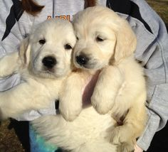 English cream golden retriever pups.