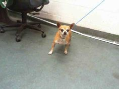 NOODLE (A1646380) I am a male brown Chihuahua - Smooth Coated.  The shelter staff think I am about 2 years old.  I was found as a stray and I may be available for adoption on 09/26/2014. — hier: Miami Dade County Animal Services. https://www.facebook.com/urgentdogsofmiami/photos/pb.191859757515102.-2207520000.1411342786./843525552348516/?type=3&theater