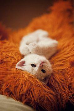 White kitten on shaggy orange something