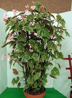 Begonia metallicacane type begonias - Additional Common Names: Scientific Name: Begonia metallica Family: Begoniaceae Toxicity: Non-Toxic to Dogs, Non-Toxic to Cats