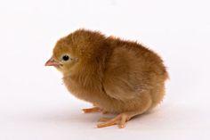 rhode+island+red+chicks | Rhode Island Red Chick