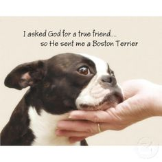 funny boston terrier | Boston Terrier True Friend Poster 44 x 35 $44.95