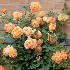 English Roses Lady of Shalott Climbing - David Austin Roses Roses David Austin, David Austin Rosen, Beautiful Roses, Beautiful Gardens, Beautiful Flowers, Lady Of Shalott Rose, Comment Planter Des Roses, Growing Roses, Planting Roses