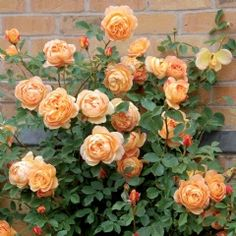 Lady of Shalott Climbing - David Austin Roses