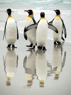 King penguins - school crossing guard - love these little guys