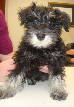 Fritz is a 12 week old Miniature Schnauzer