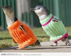 Sweaters for Penguins Affected by New Zealand Oil Spill