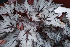 Begonia Rex, 'Shadow King™  Moonlight'. More black and white contrast for the shade.