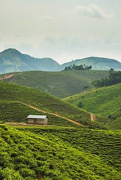 Tea plantation in the mountains of southern Uganda, East Africa, Africa