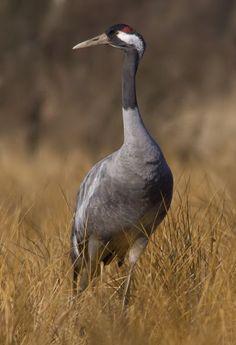 Photographer\s photo olesniczanin - Common crane