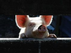 Pulling the curtain on the cruelty of animal farming / One Green Planet Gag Reflex, One Green Planet, Why Vegan, Vegan Vegetarian, Save Nature, Animal Agriculture, Vegan Society, Factory Farming, Human Connection