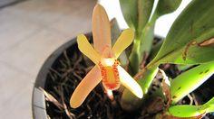 Maxillaria (Mormolyca) rufescens