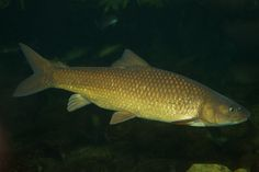 Labeobarbus capensis   Flickr - Photo Sharing!